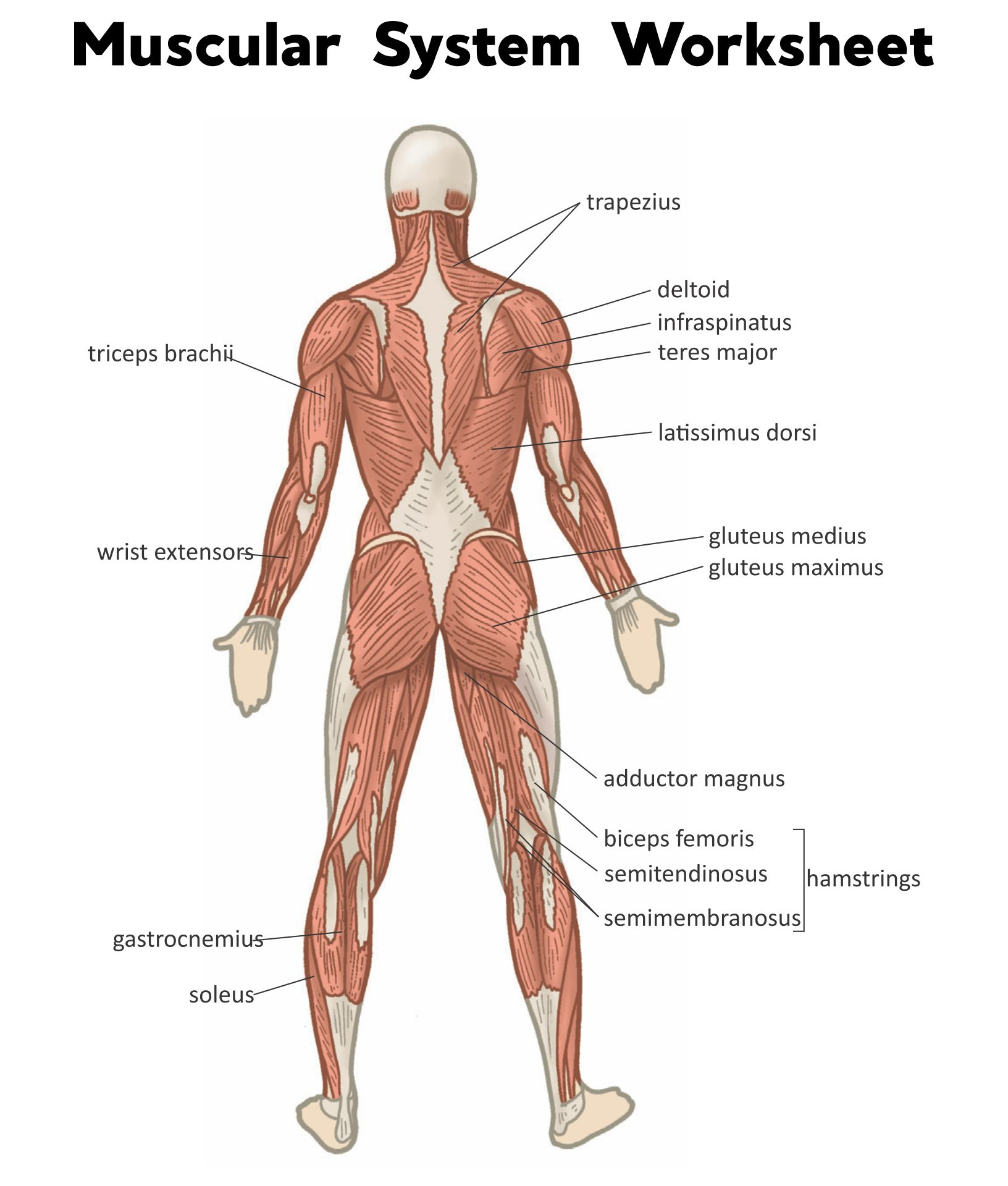 Labeling The Muscular System Worksheet Answers