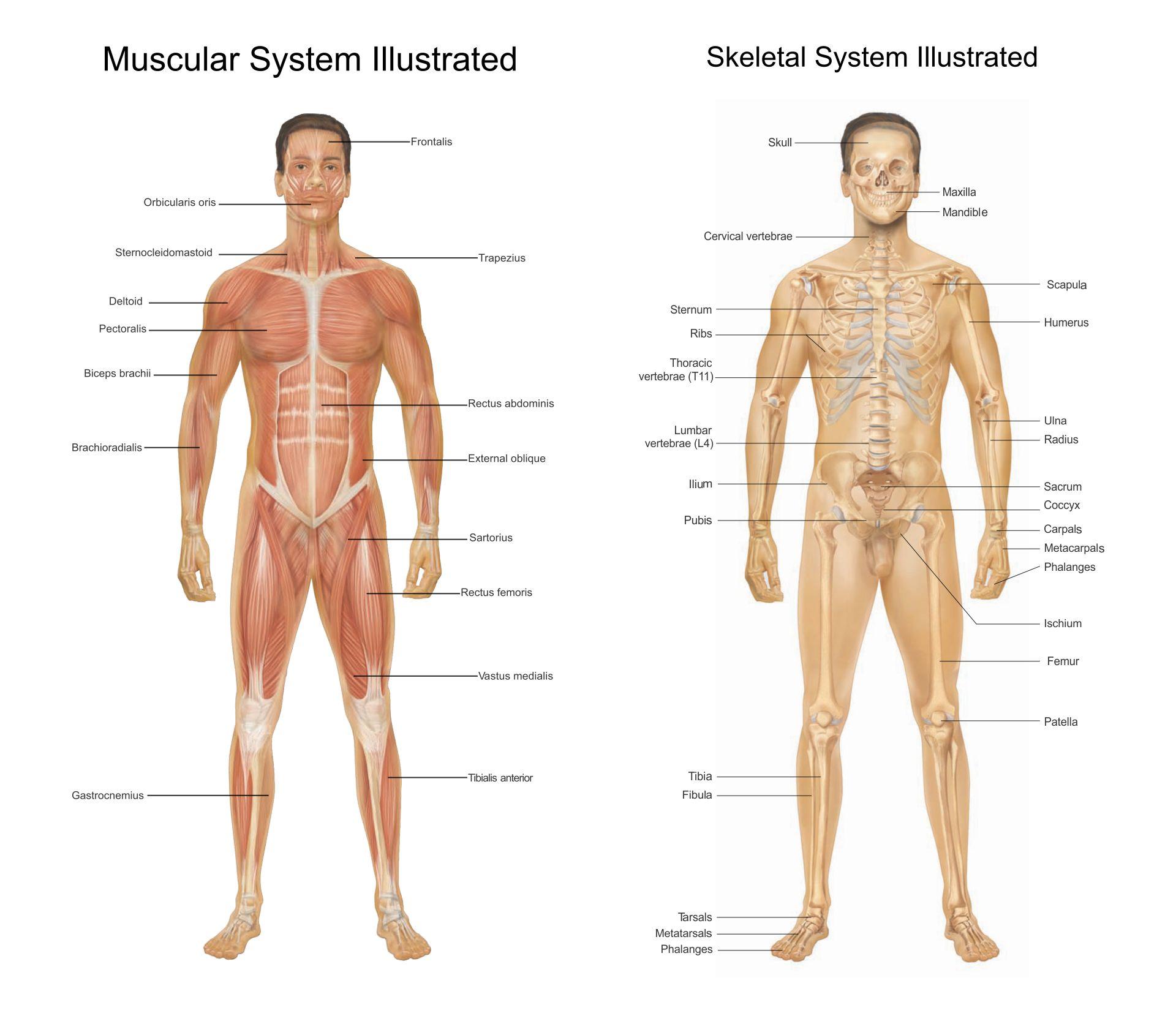 Skeletal And Muscular System Worksheet Answers