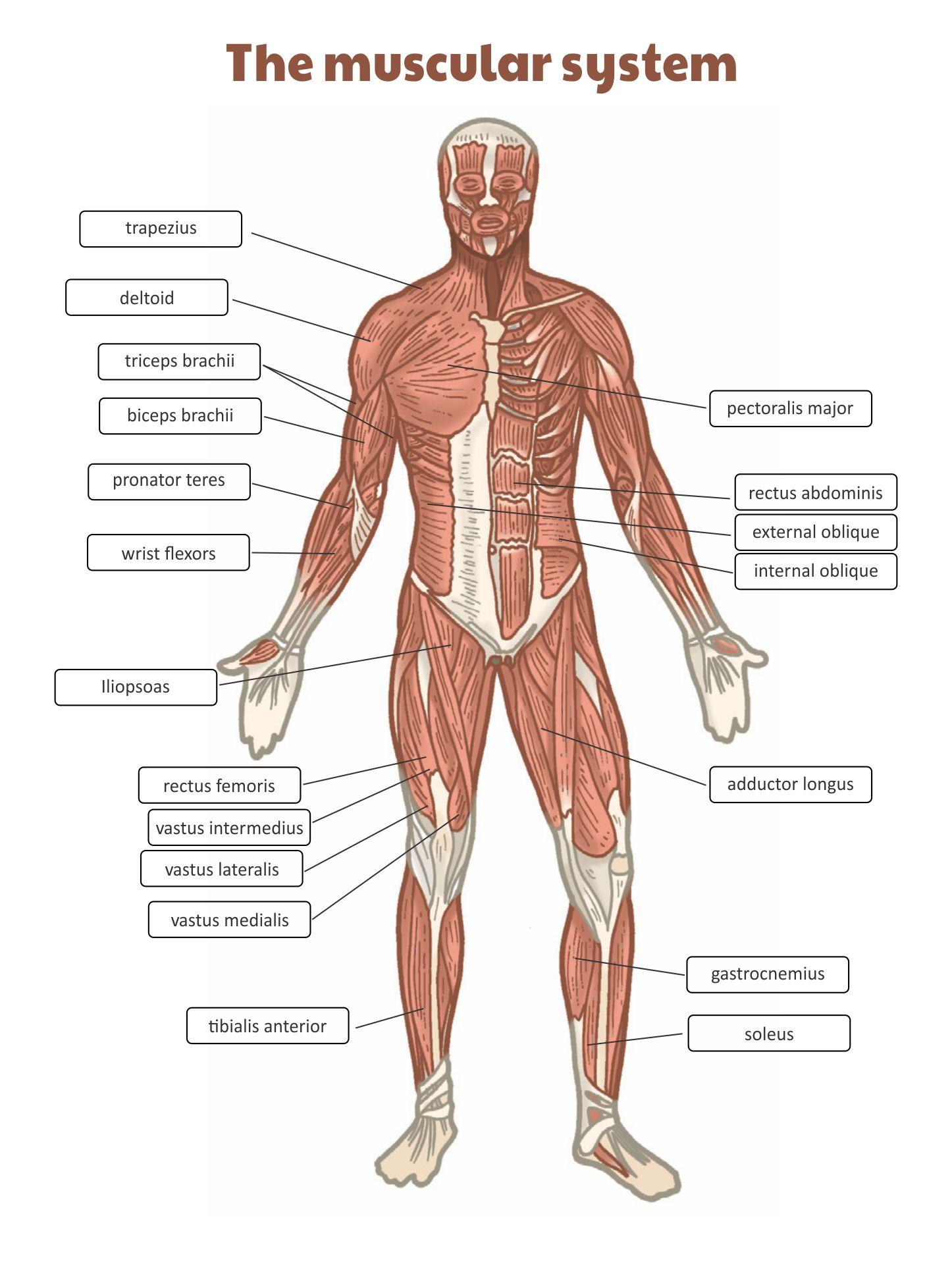 Muscular System Worksheet Answer Key
