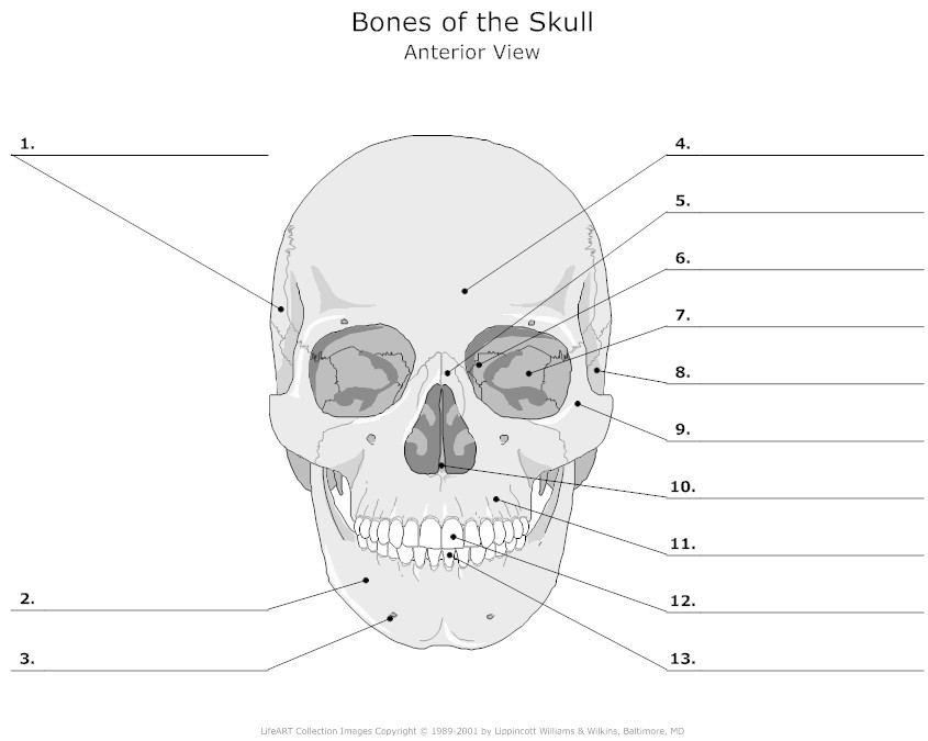 4 Images of Diagram Of The Skull Printable