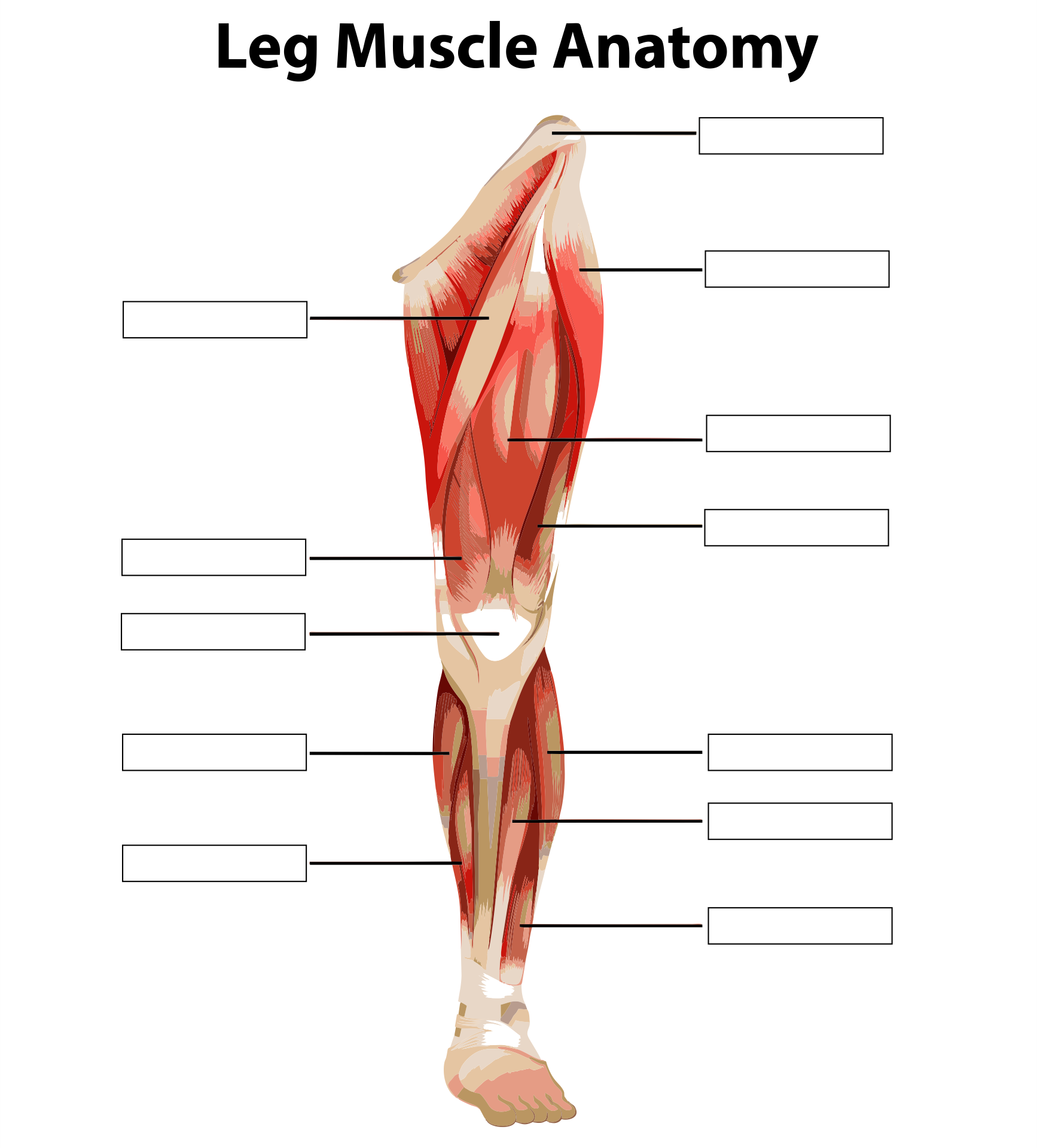 Anatomy and Physiology Muscle Worksheets