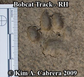 Identifying Animal Paw Prints Bobcat