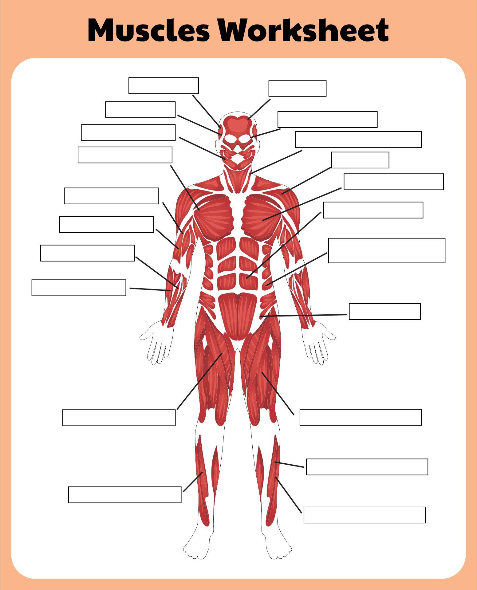 6 Best Printable Worksheets Muscle Anatomy
