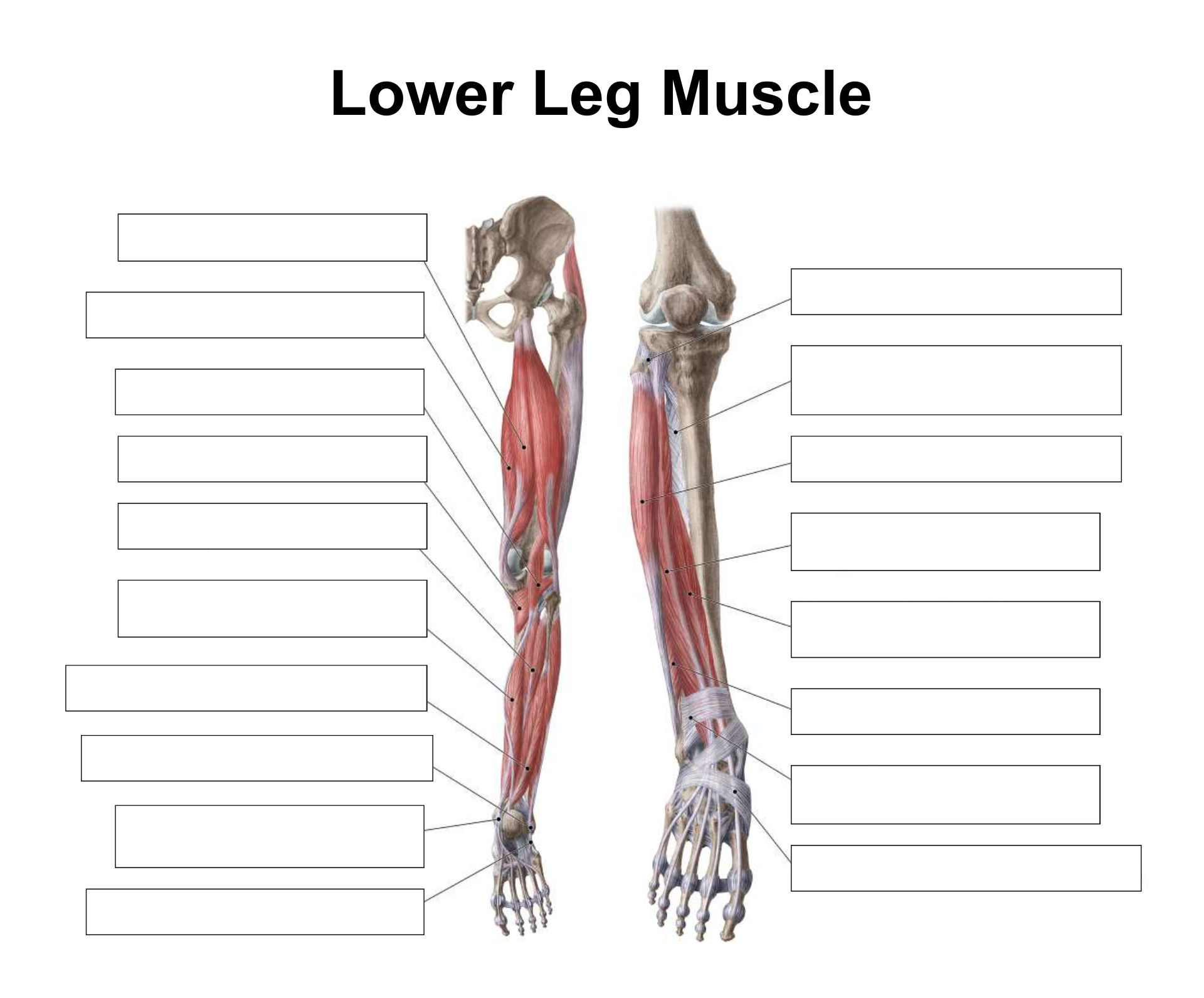 6 Best Printable Worksheets Muscle Anatomy - Printablee.com