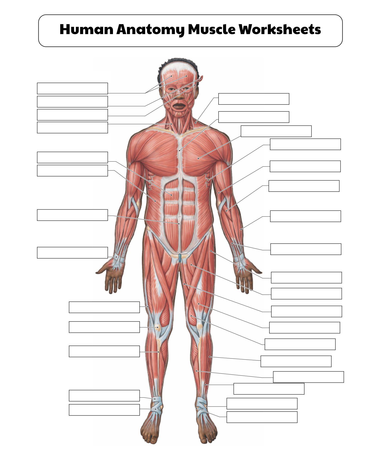 Human Anatomy Muscle Worksheets Printable