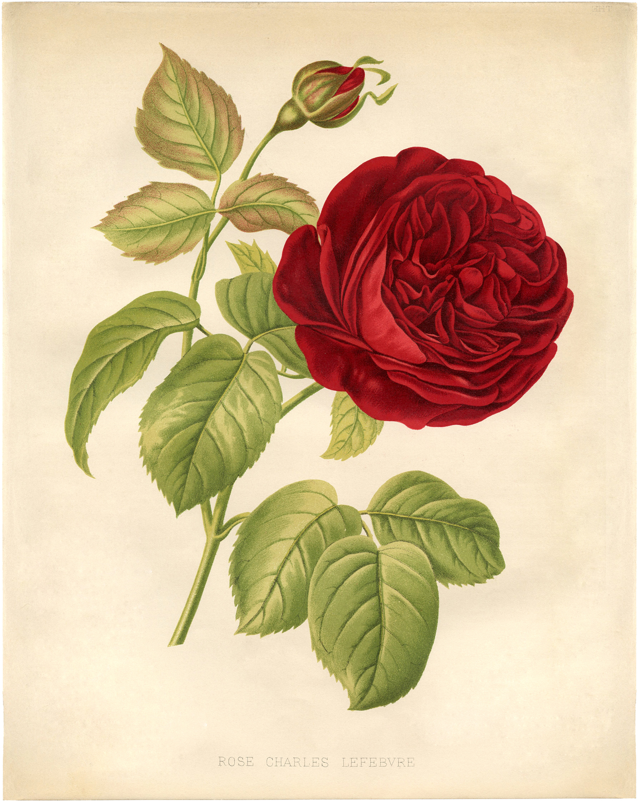 Botanical Red Rose Printable