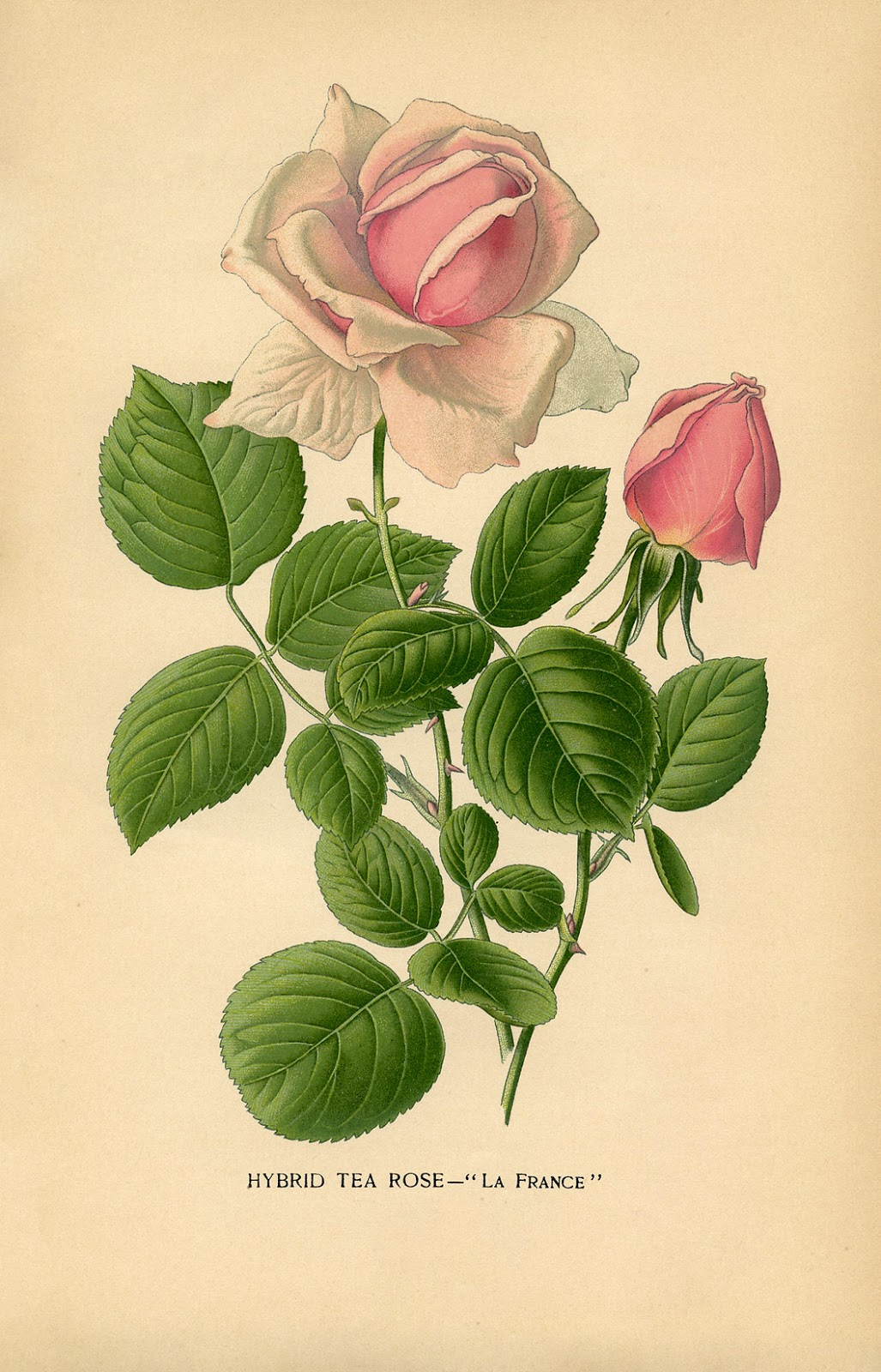 5 Images of Printable Vintage Botanical Rose