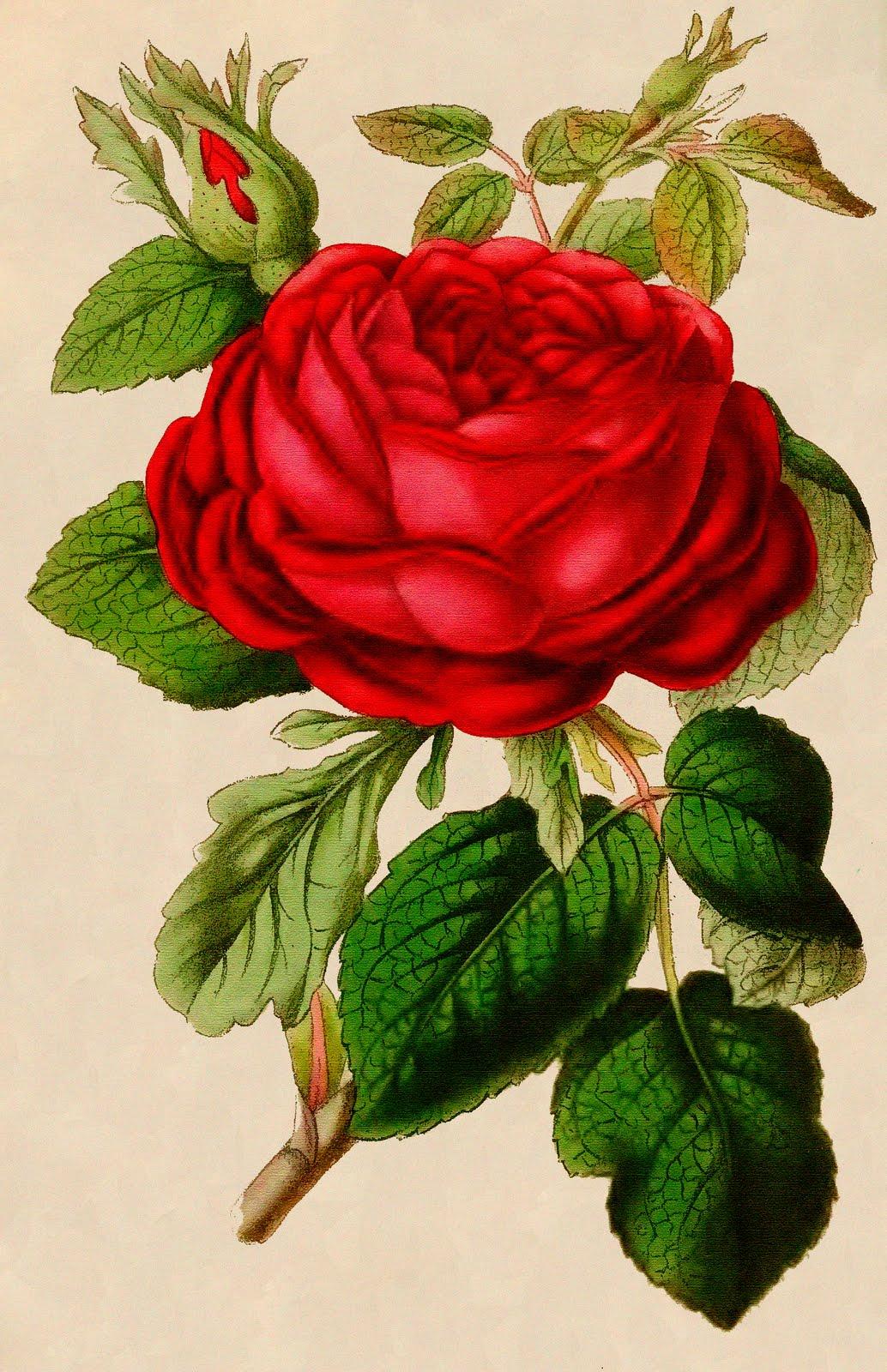 7 Images of Vintage Red Rose Printable