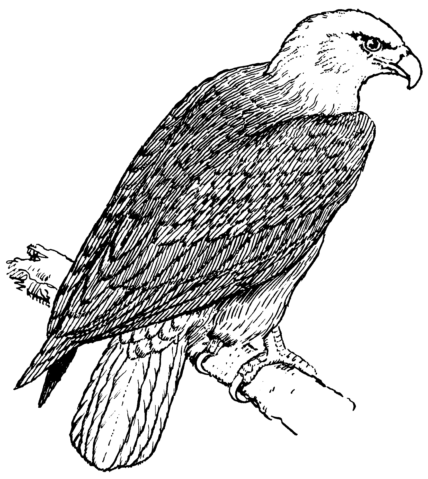 4 Images of Bald Eagle Coloring Pages Printable Free