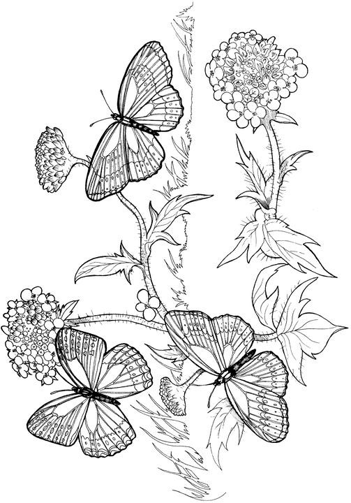 Butterfly Coloring Pages Adults