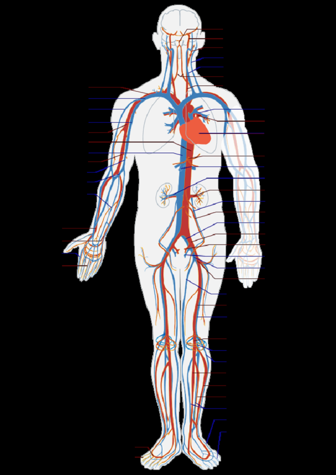 circulatory system no labels - photo #12
