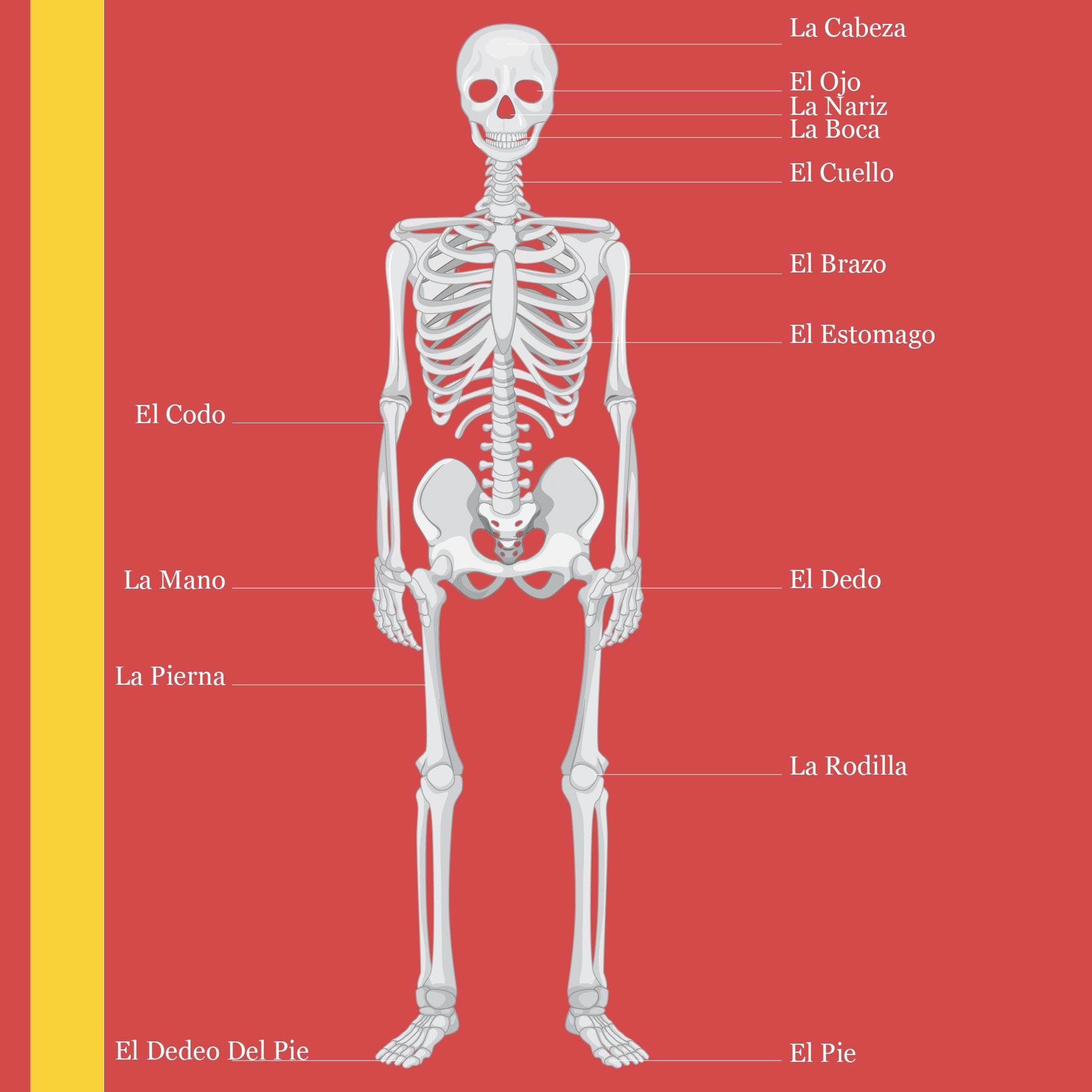 Human Skeleton In Spanish – serior.info