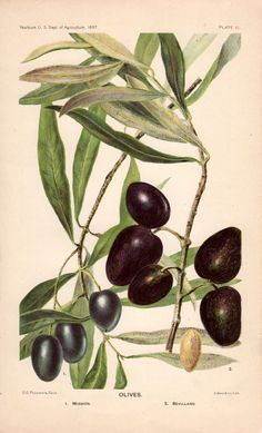 6 Images of Printable Olive Branch Botanical Prints