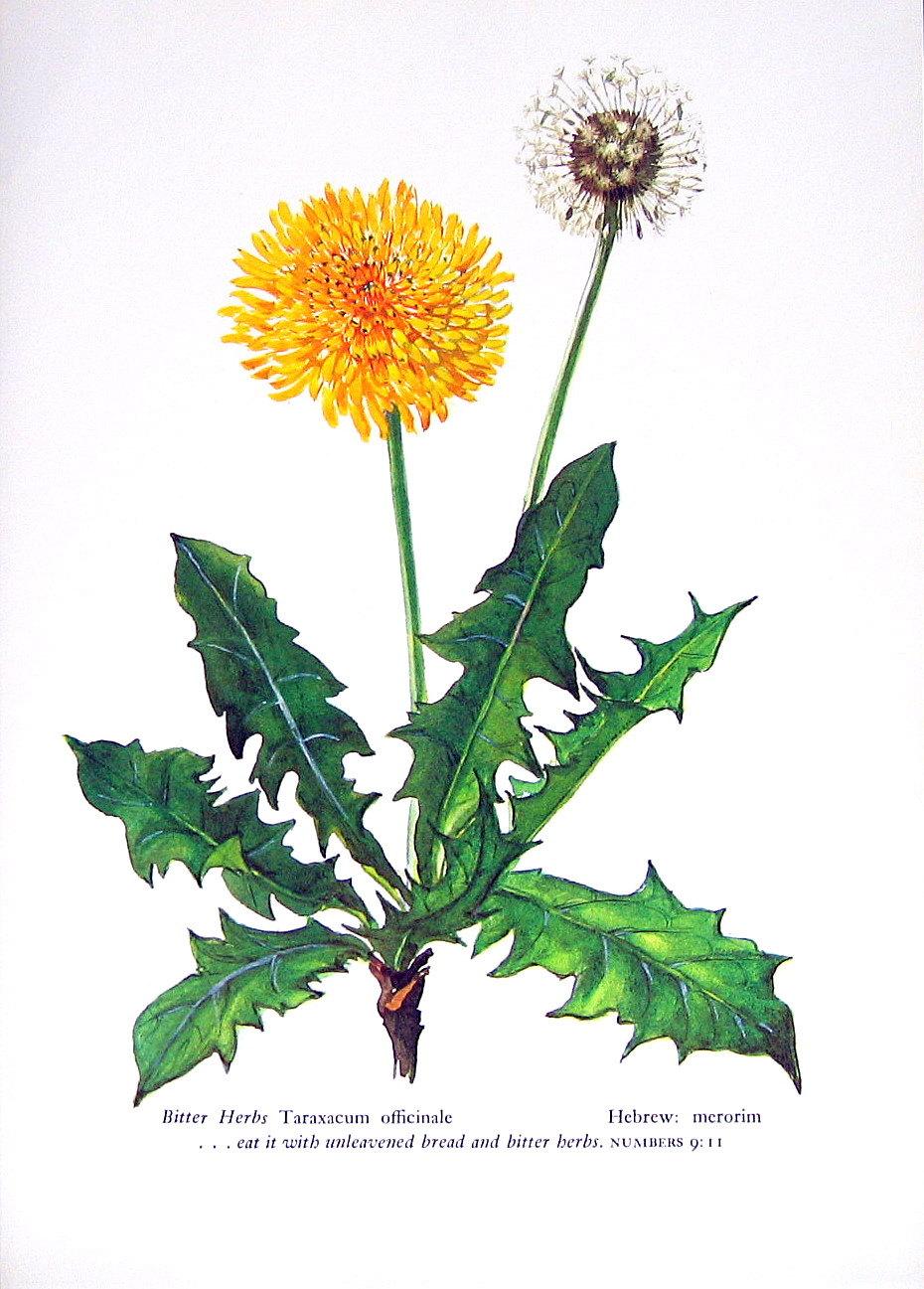 Vintage Dandelion Botanical Illustrations