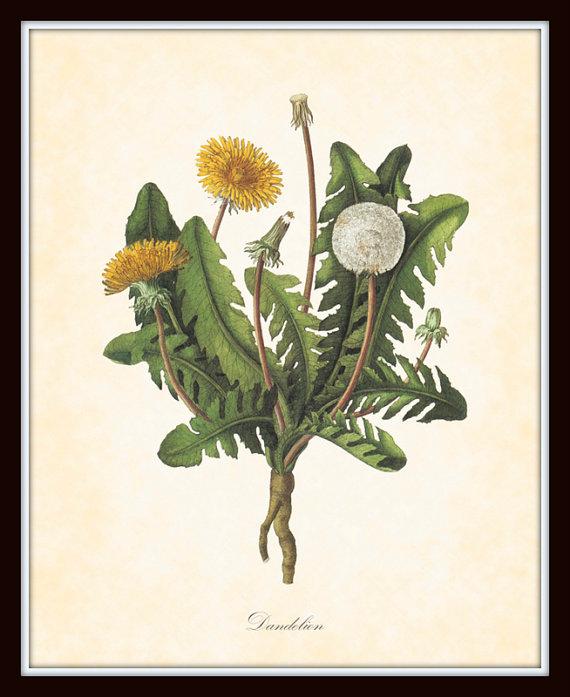 Vintage Dandelion Botanicals