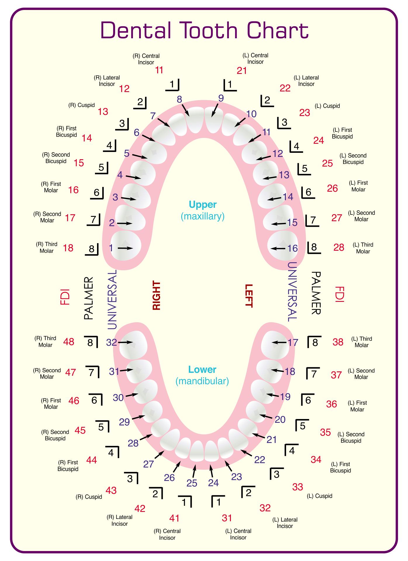 Dental Tooth Chart Printable