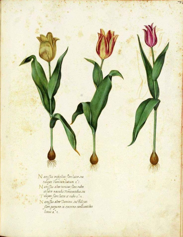 Tulip Print Vintage Botanical Illustrations
