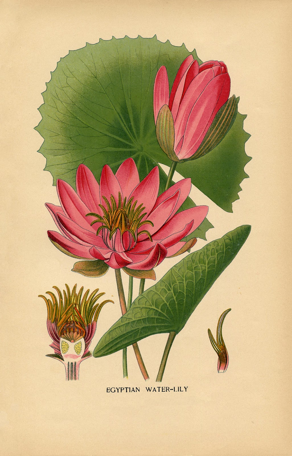 Vintage Water Lily