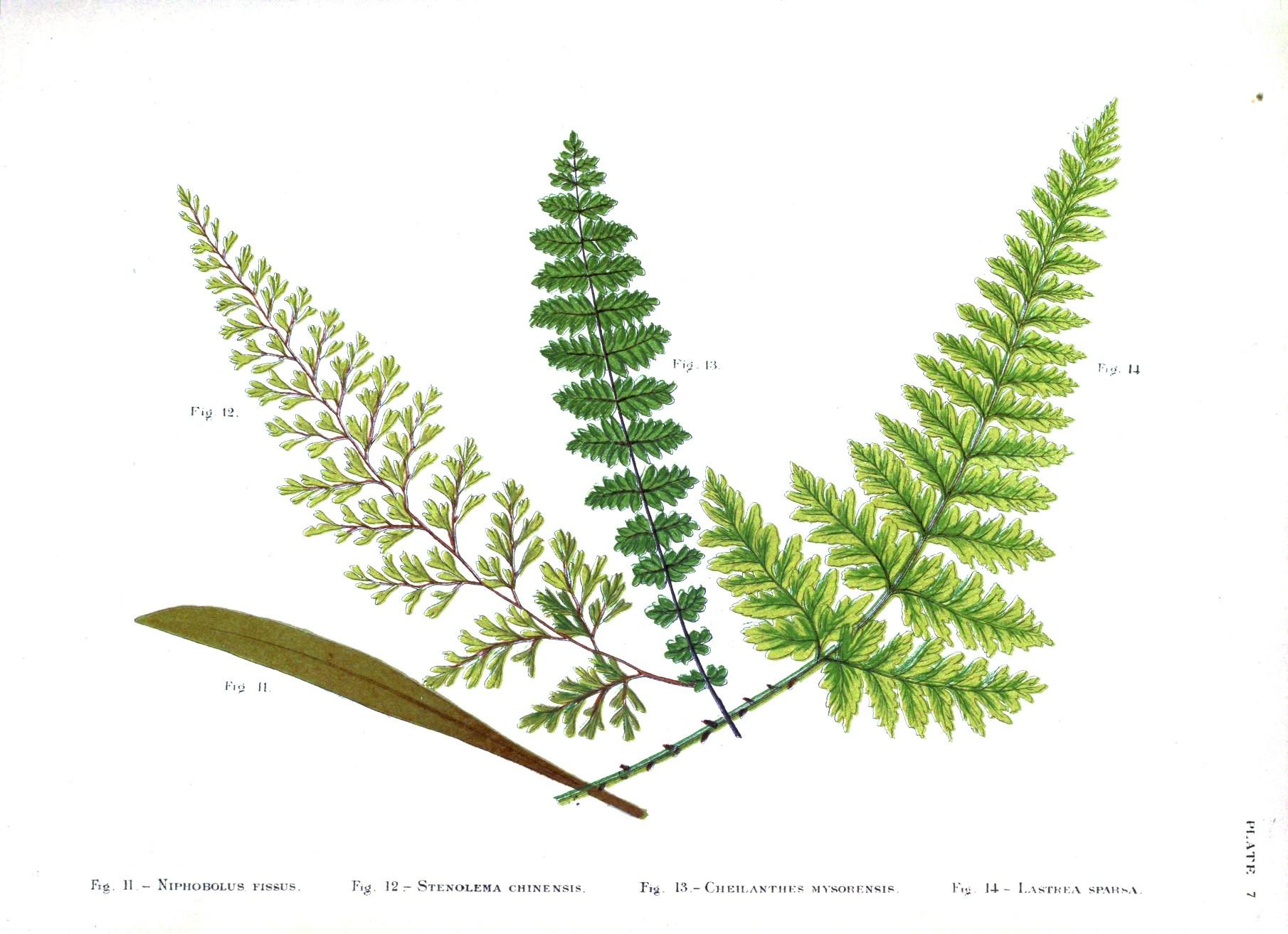 Vintage Fern Botanical Prints