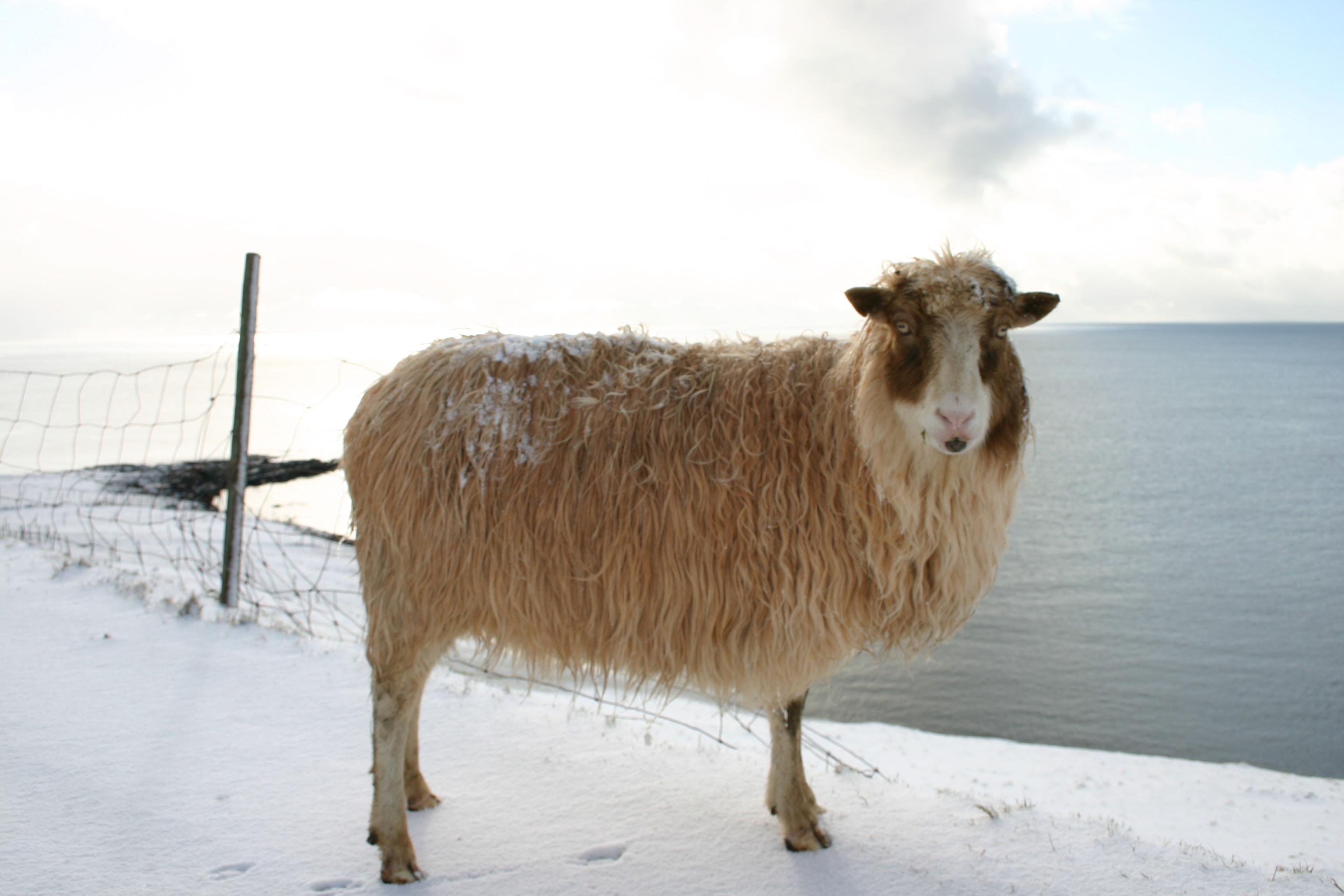 4 Images of Sheep Printable Stationary