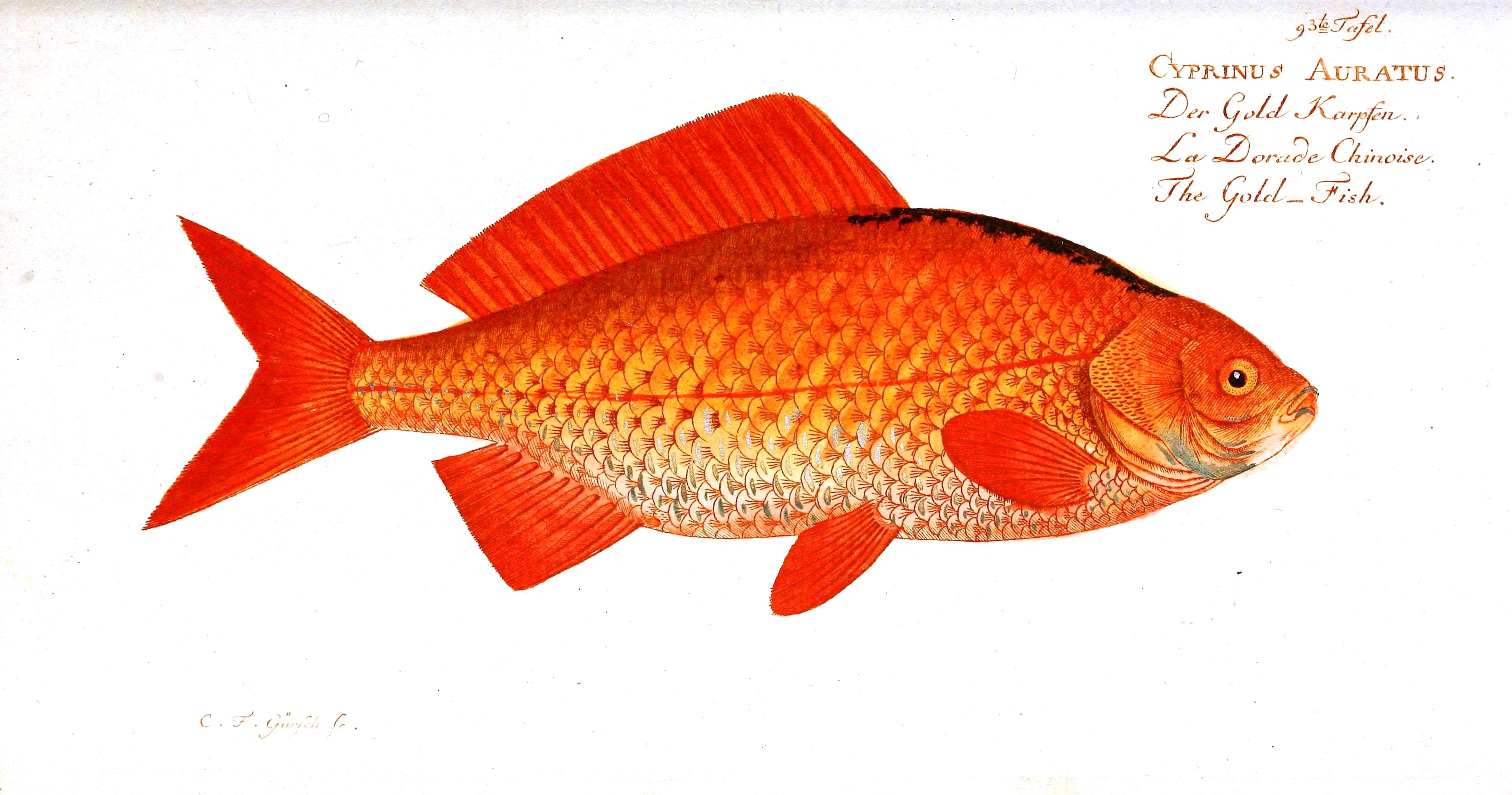 Best Images Of Free Printable Fish Gallery Orange Printables