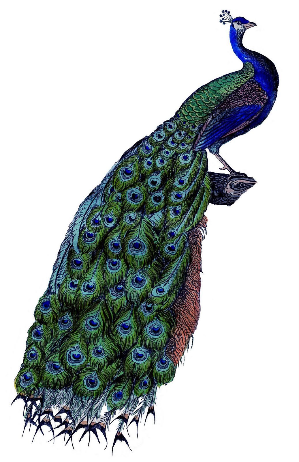 6 Images of Printable Peacock Art