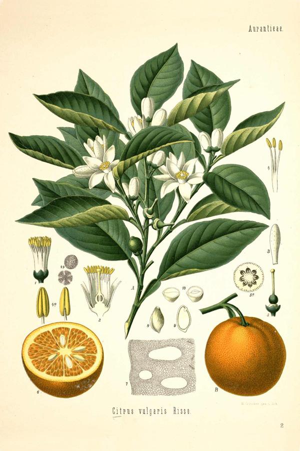 7 Images of Free Printable Vintage Botanical Prints