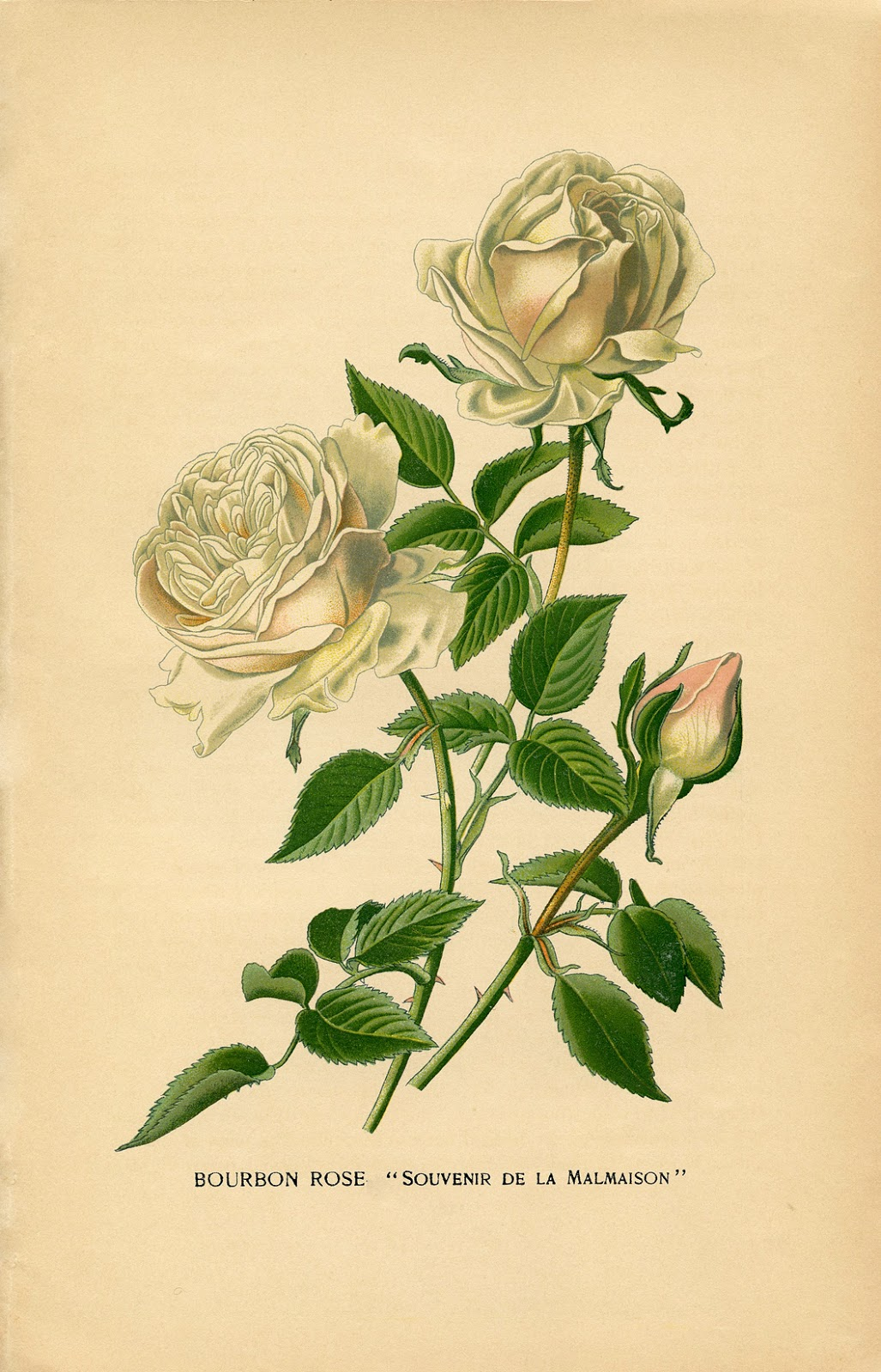 Printable Vintage Botanical Rose