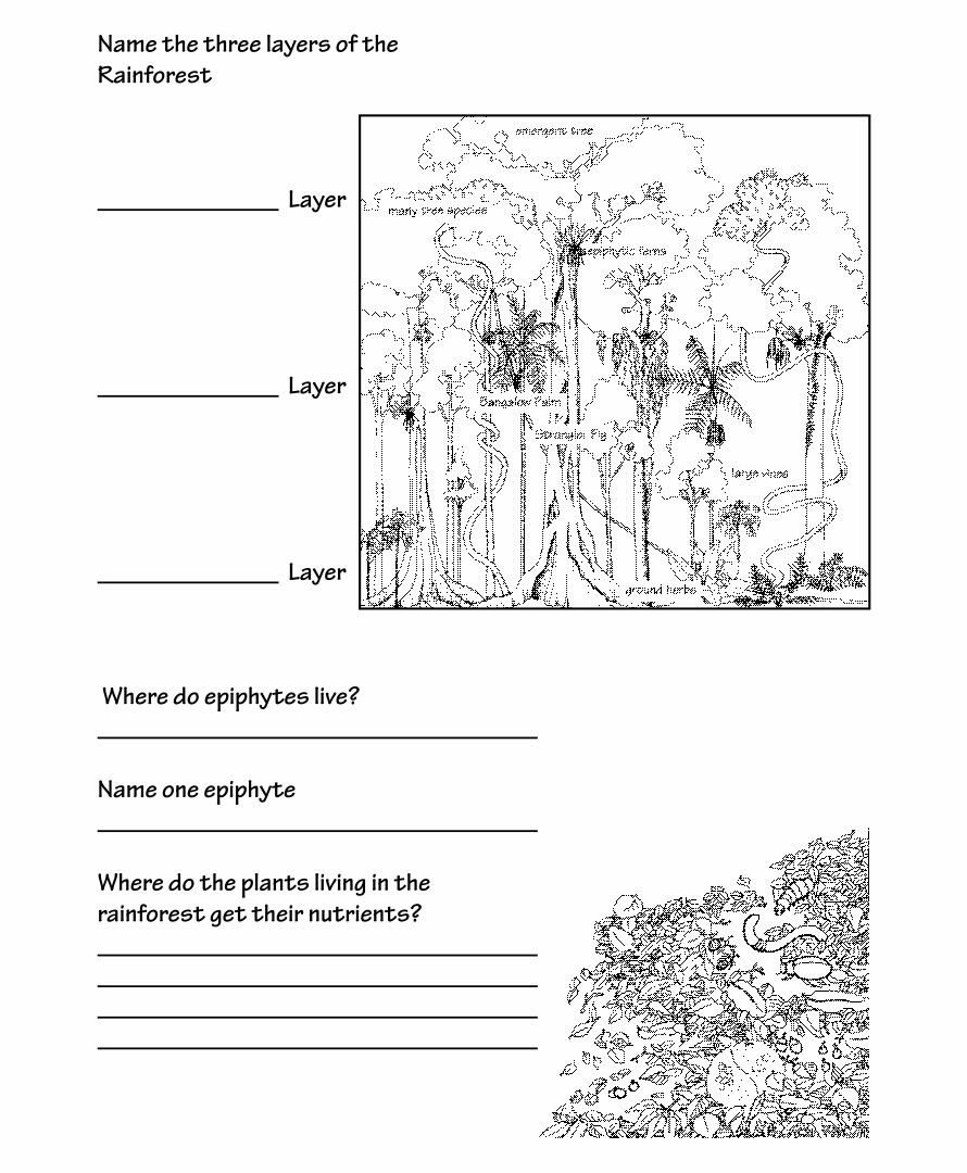 Rainforest Layers Worksheet