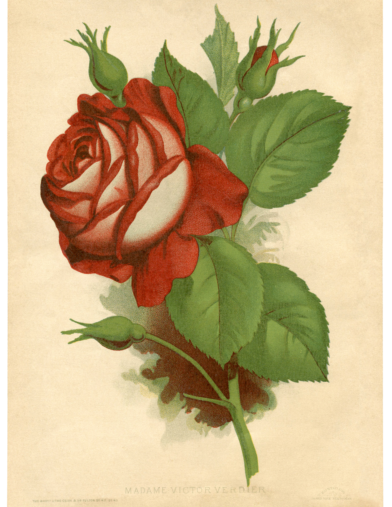 Vintage Red Rose Printable