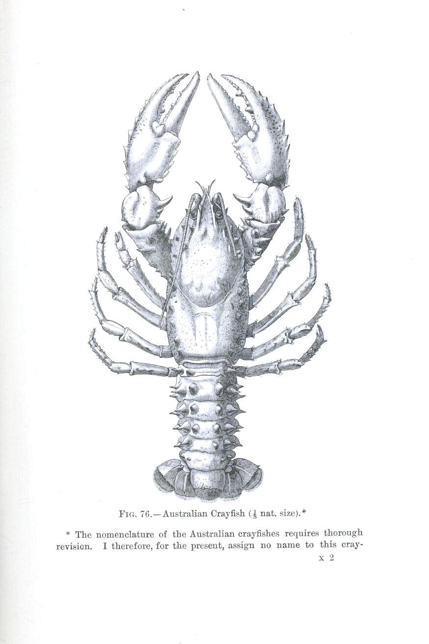 Animal Crustacean Lobster